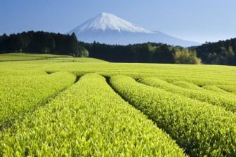 Bílý čaj patří mezi nejemnější druhy čaje. Velmi efektivně pomáhá snižovat váhu, podobně jako zelený čaj.