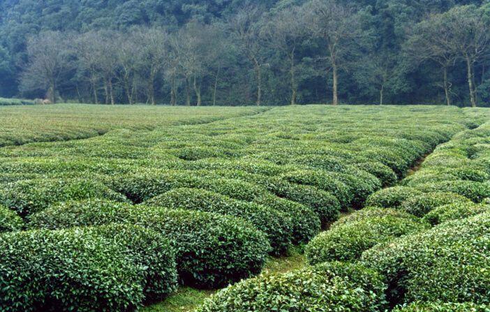 <span>Je prokázáno, že zelený čaj napomáhá hubnout. Látky v zeleném čaji aktivují metabolismus tuků.</span>