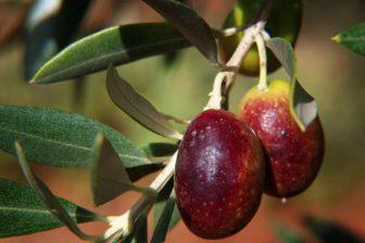 Olivový olej má opravdu jedinečné výsledky při snižování hladiny LDL cholesterolu, aniž by při tom zároveň snižoval hladinu HDL cholesterolu