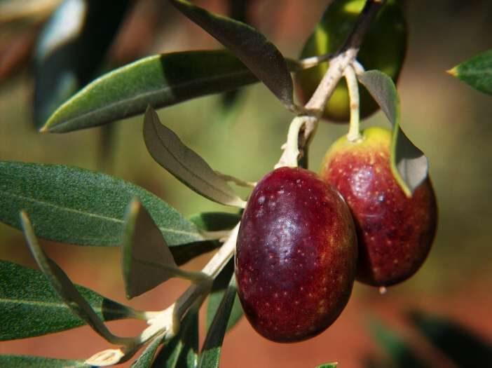 <span>Olivový olej má opravdu jedinečné výsledky při snižování hladiny LDL cholesterolu, aniž by při tom zároveň snižoval hladinu HDL cholesterolu </span>